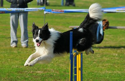Photo of Dog Agility Dog Sports